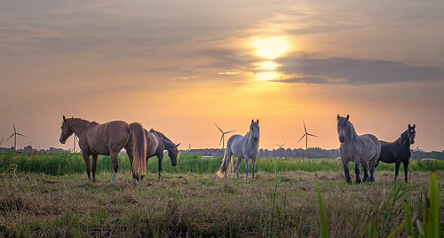 spaarndam noordholland nederland spaarnwoude horses sunrise cffaa