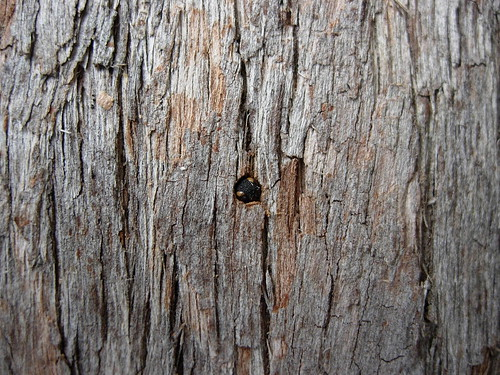tree bark section with a single small hole in the middle. a wasp peaks out of the hole, with its head cocked