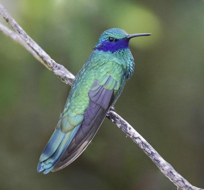 Sparkling Violetear_Colibri coruscans_Ascanio_Colombia_199A7830