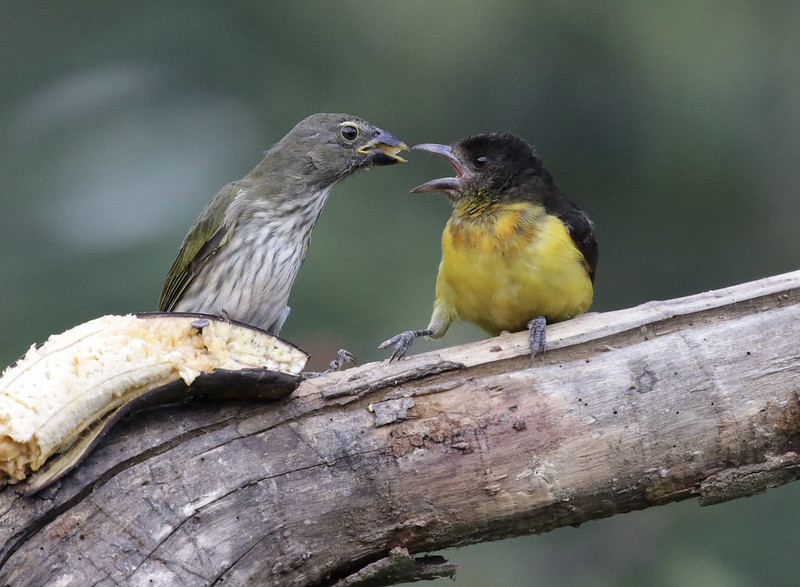 Streaked Saltator & Flame-rumped Tanager_Ascanio_Colombia_2_199A8216