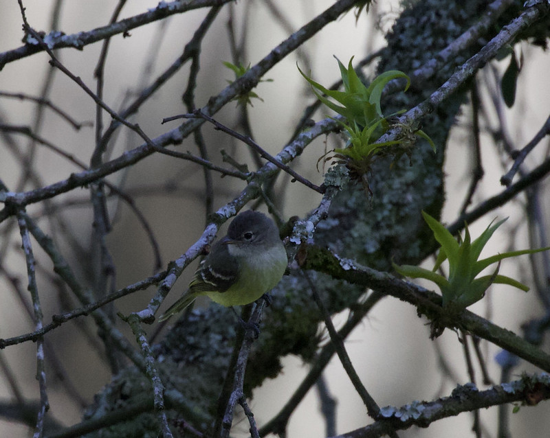 Unknown tyrannulet_Ascanio_Colombia_199A7175