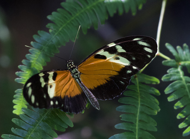 Unknown butterfly_Ascanio_Colombia_199A6607