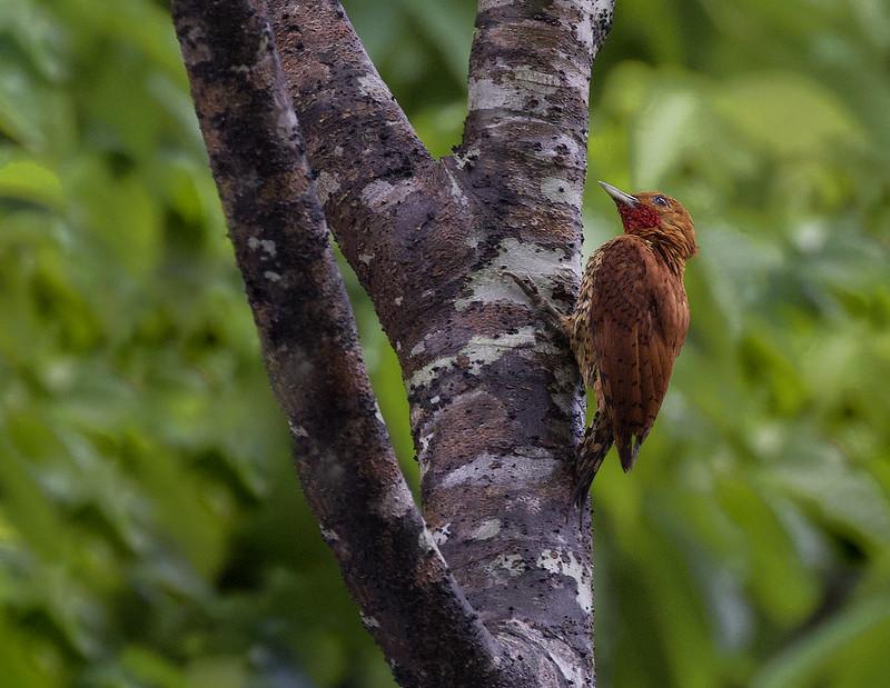 Cinnamon Woodpecker_Celeus loricatus_Ascanio_Colombia_199A6313