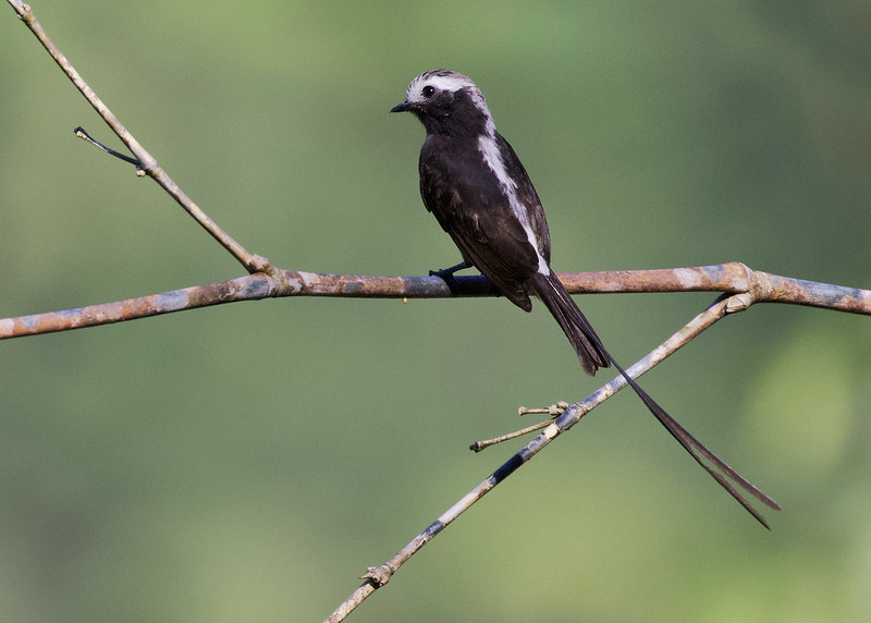 Long-tailed Tyrant_Colonia colonus_Ascanio_Colombia_199A6884
