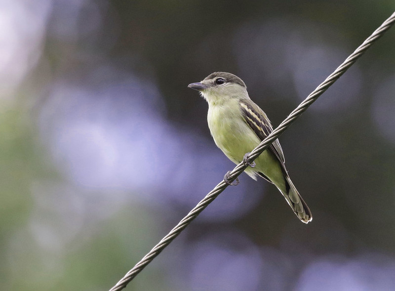 White-winged Becard_Pachyramphus polychopterus_Ascanio_Colombia_ 199A8160