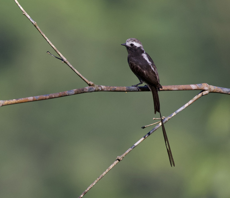 Long-tailed Tyrant_Colonia colonus_Ascanio_Colombia_ 199A6889