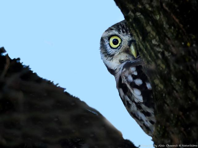 Chevêche d'Athéna (Athene noctua) - Little Owl