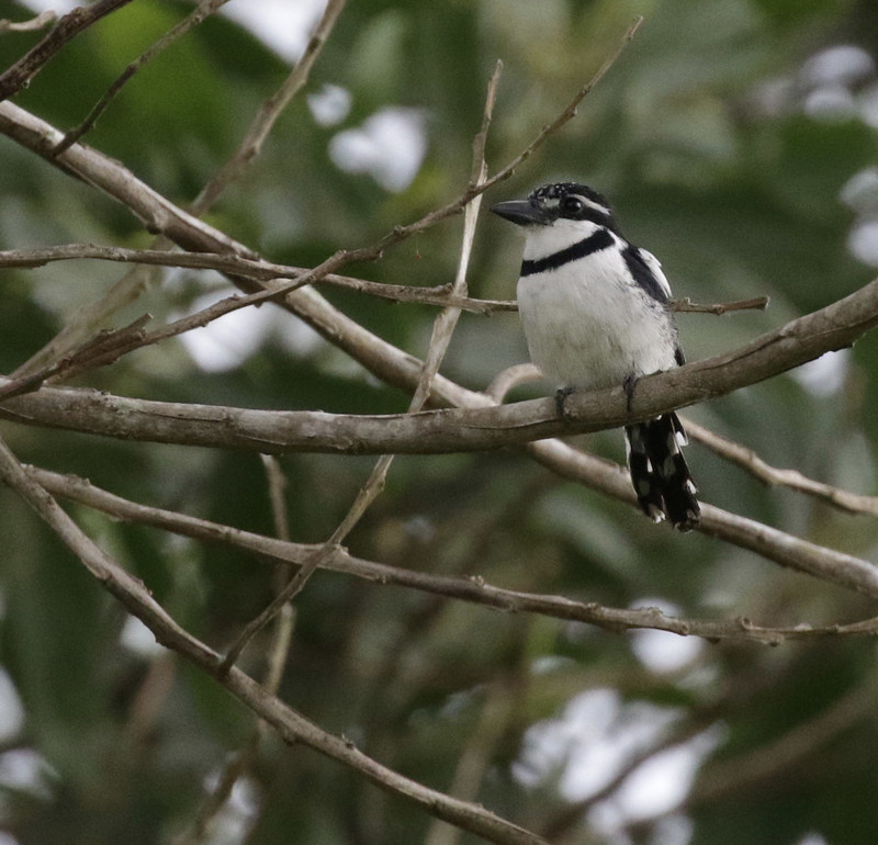 Pied Puffbird_Notharchus tectus_Ascanio_Colombia_199A6455