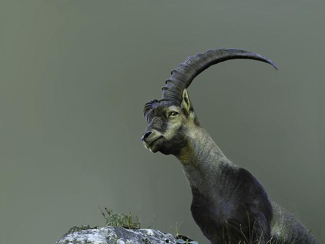 Bouquetin des alpes (Capra ibex) Ibex