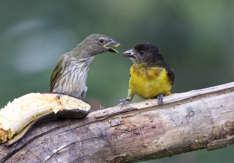 Streaked Saltator & Flame-rumped Tanager_Ascanio_Colombia_1_199A8213