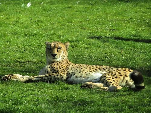 cheetah in Planckendael Zoo in Mechelen