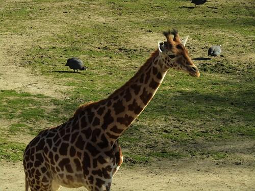 Giraffe in Planckendael Zoo in Mechelen