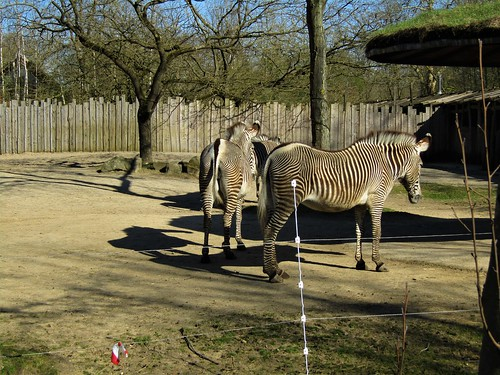 Zebras in Planckendael Zoo in Mechelen