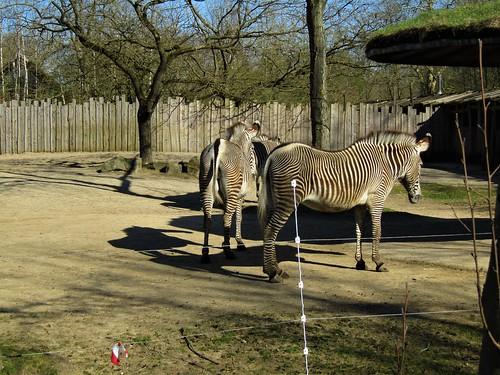 Zebras in Planckendael Zoo in Mechelen