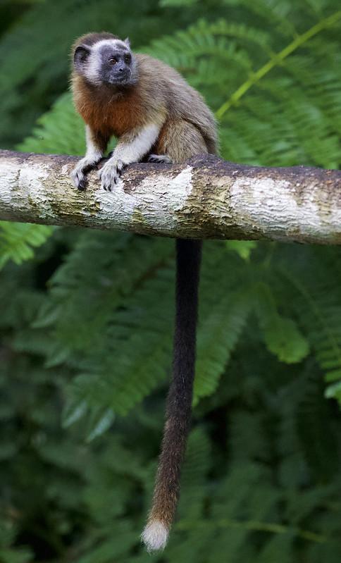 White-footed tamarin_Saguinus leucopus_Ascanio_Colombia_ 199A6520