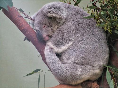 Koala in Planckendael Zoo in Mechelen