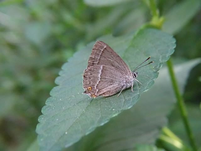 Blauer Eichen-Zipfelfalter (Favonius quercus) (2)