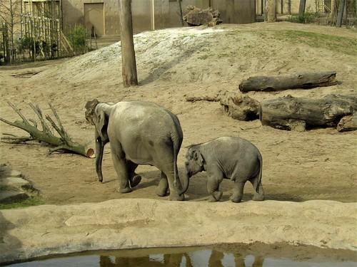 Elephants in Planckendael Zoo in Mechelen