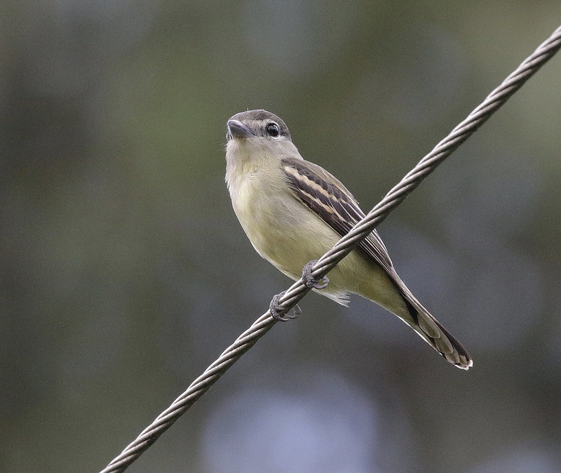 White-winged Becard_Pachyramphus polychopterus_Ascanio_Colombia_ 199A8122