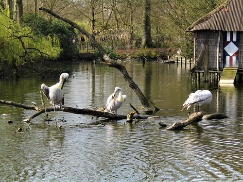 Pelicans in Planckendael Zoo in Mechelen