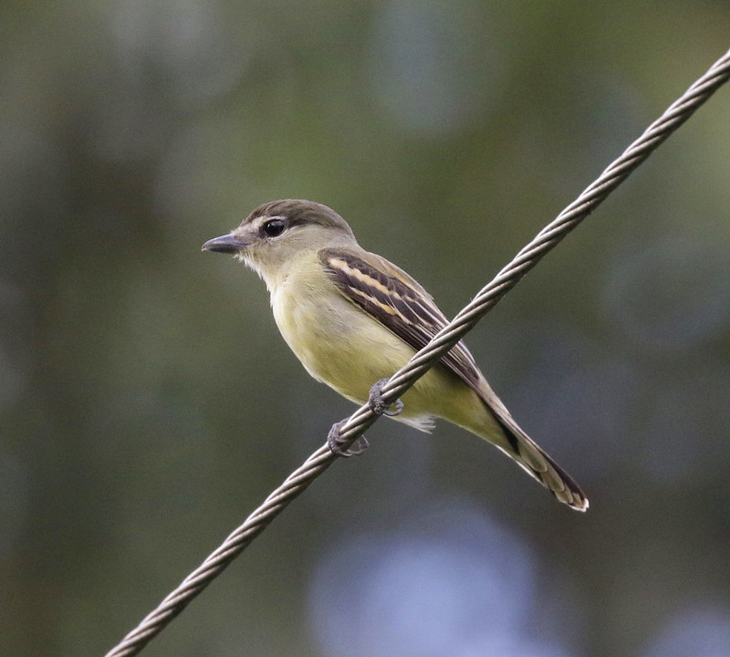 White-winged Becard_Pachyramphus polychopterus_Ascanio_Colombia_ 199A8119