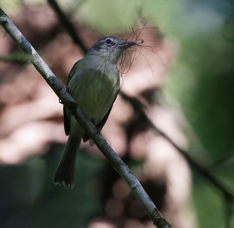 Yellow-olive Flycatcher_Tolmomyias suphurescens_Colombia_Ascanio_199A6524