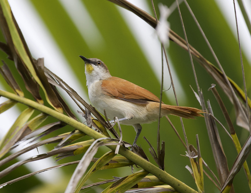 Yellow-chinned Spinetail_Certhiaxis cinnamomeus_Ascanio_Colombia_199A6375