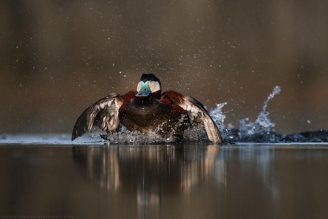 Ruddy Duck - Érismature Rousse