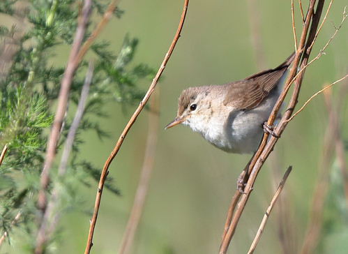 Booted Warbler (Iduna caligata)