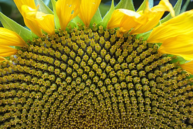 ah sunflower, weary of time