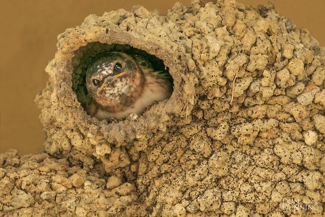 Cliff Swallow Chick (Petrochelidon pyrrhonota)