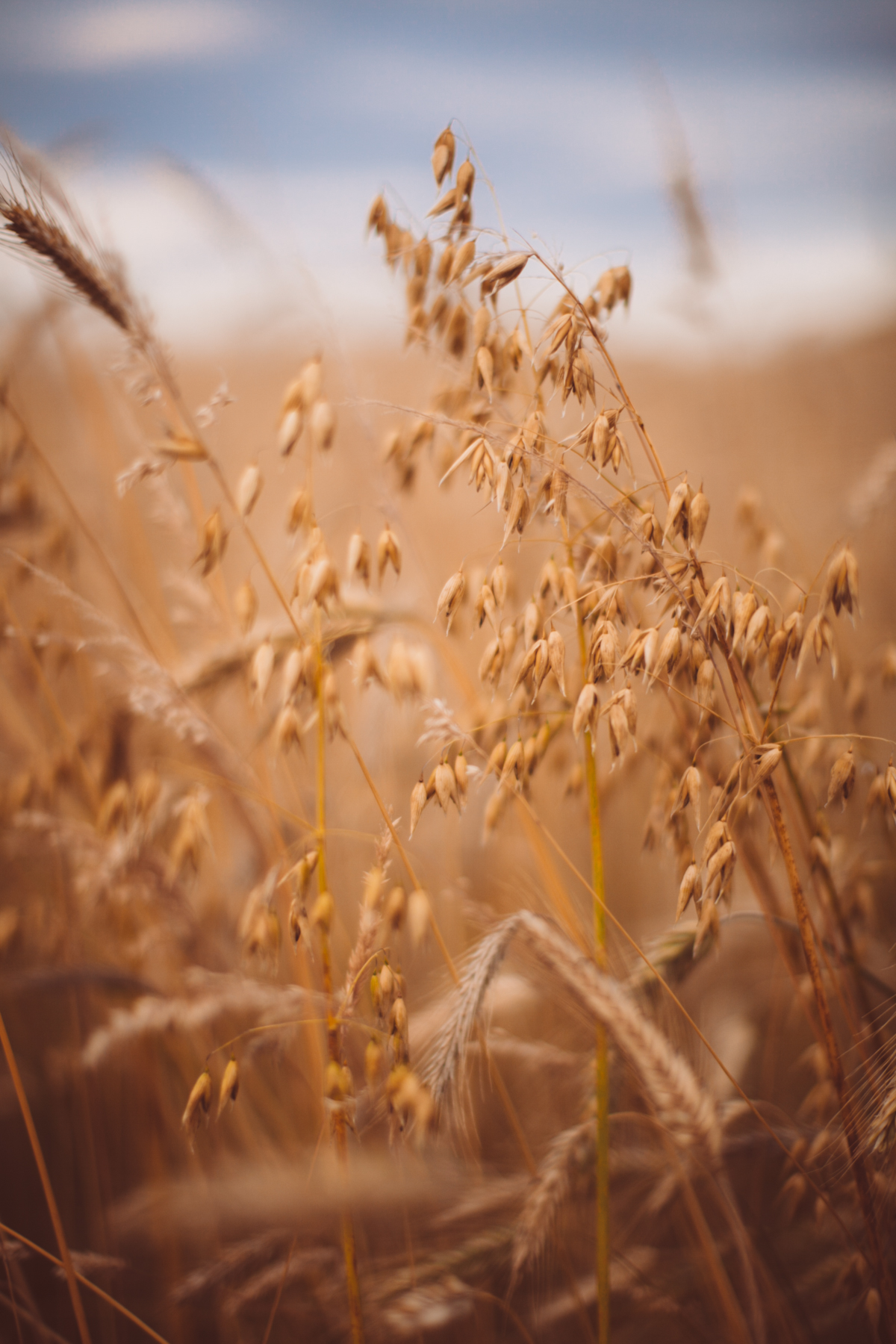 golden wheat field-74