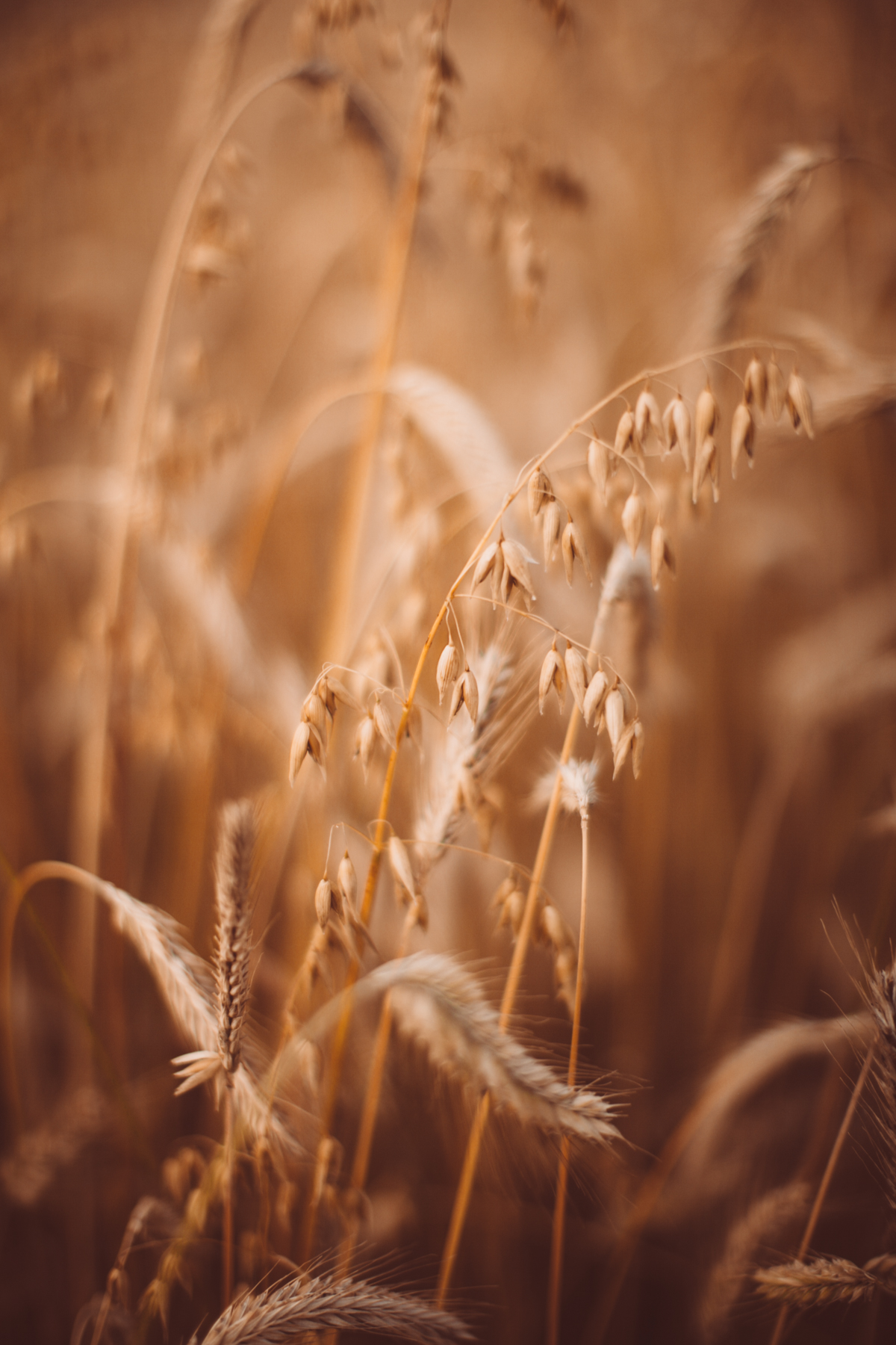 golden wheat field-52
