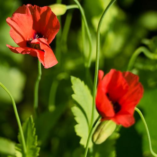 Red, green: garden poppies