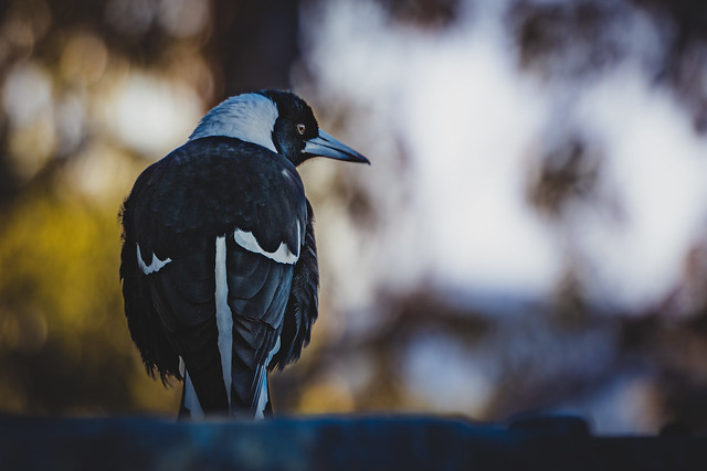 Observing Magpie