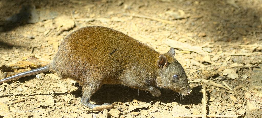 Musky-rat Kangaroo
