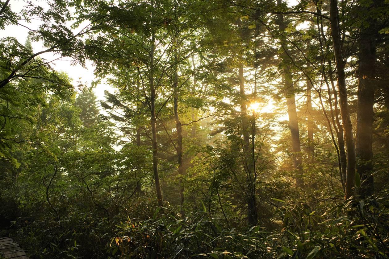 尾瀬 森の朝