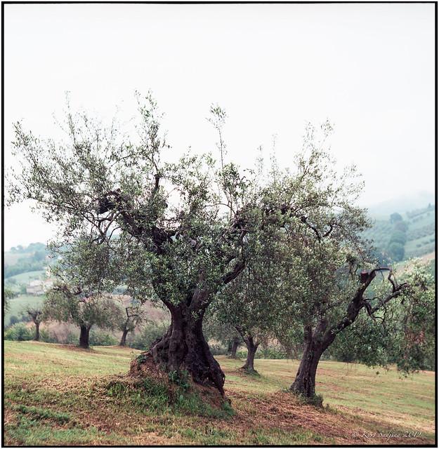Olive grove_Rolleiflex 3.5B