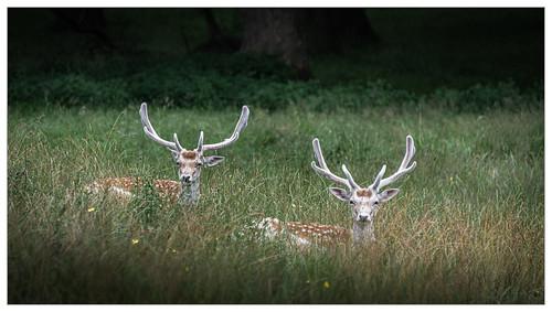 tattonpark rhs royalhorticulturalsociety flowershow trafford stockport manchester deer fawn kid calf england nikon d850 muddybootsuk unitedkingdom greatbritain