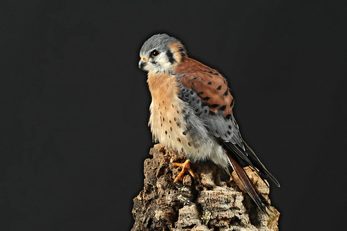 American Kestrel ♂ Falco sparverius | by Roger Wasley