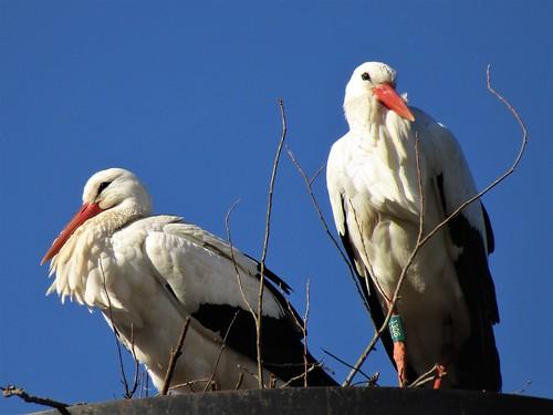 Storks in Planckendael Zoo in Mechelen