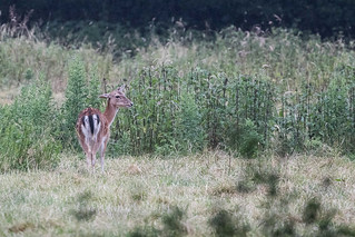 Fallow Doe and Fawn