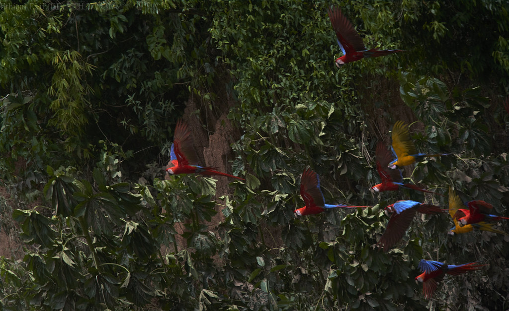 Scarlet macaws in flight from Claylick