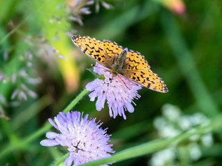A butterfly enjoying the late sun and flowers - Le Serre Des Fourches - Chemin de Stevenson-2018-D4-22 | by aushiker