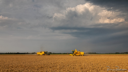 Wheat harvesting before the Thunderstorm