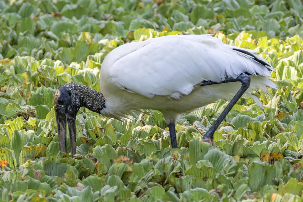 Wood Stork - Corkscrew Swamp Sanctuary, Florida