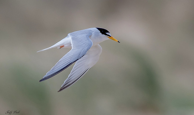 DSC7280  Little Tern...