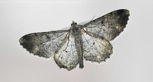 Moth from below