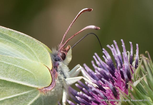 Brimstone - Gonepteryx rhamni
