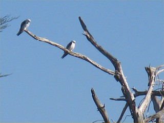 White-tailed Kite 2013-11-23; Wavecrest Open Space, San Mateo County, California, U.S.A.